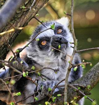 J ring tailed lemur by Duncan Gray