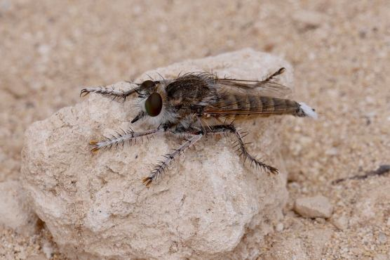 17 Robber Fly Dave G