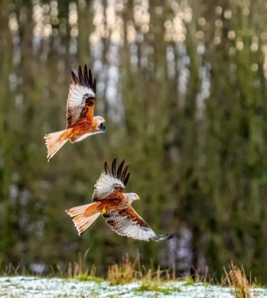 24 Red Kites Duncan Gray Highly Commended