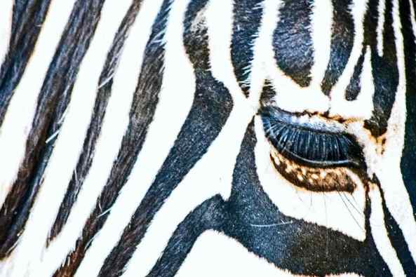 4 Eye Of The Zebra Carol Sheriden