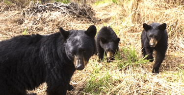 Bears allegedly illegally killed
