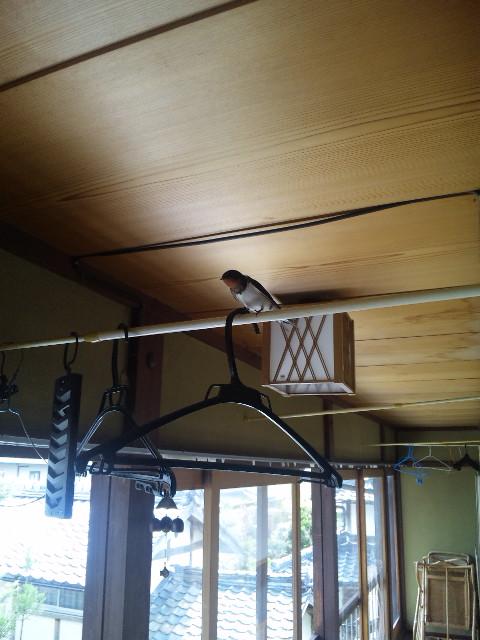 家の中に入ってきたツバメ