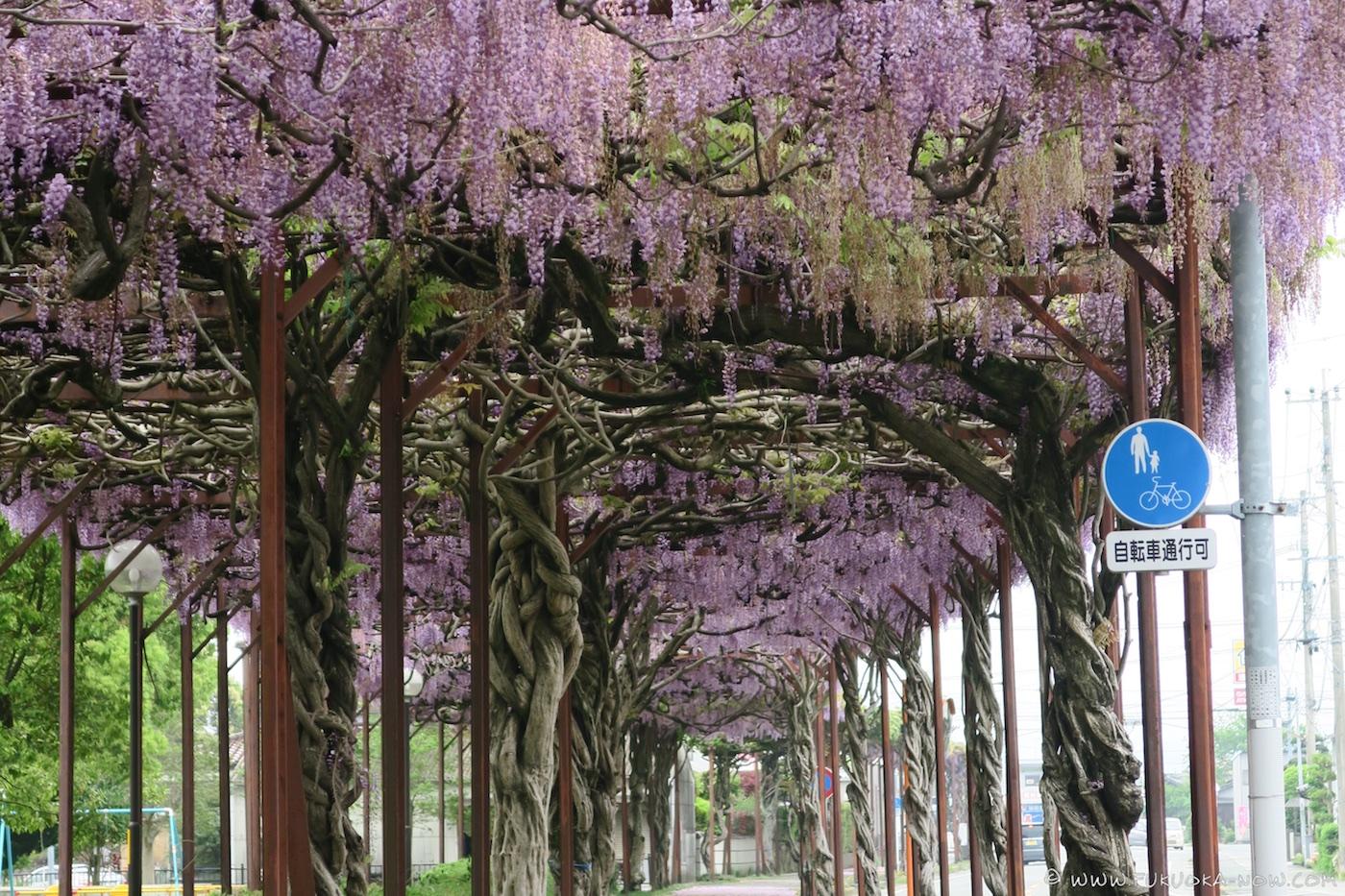 yame, fukuoka, wisteria
