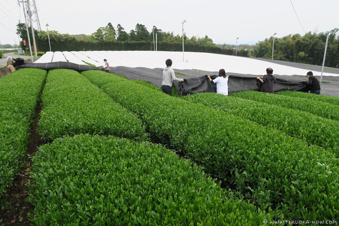 yame, tea, fukuoka, tea field
