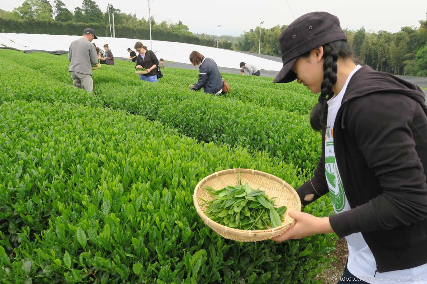 yame, tea, fukuoka, tea field, tea picking