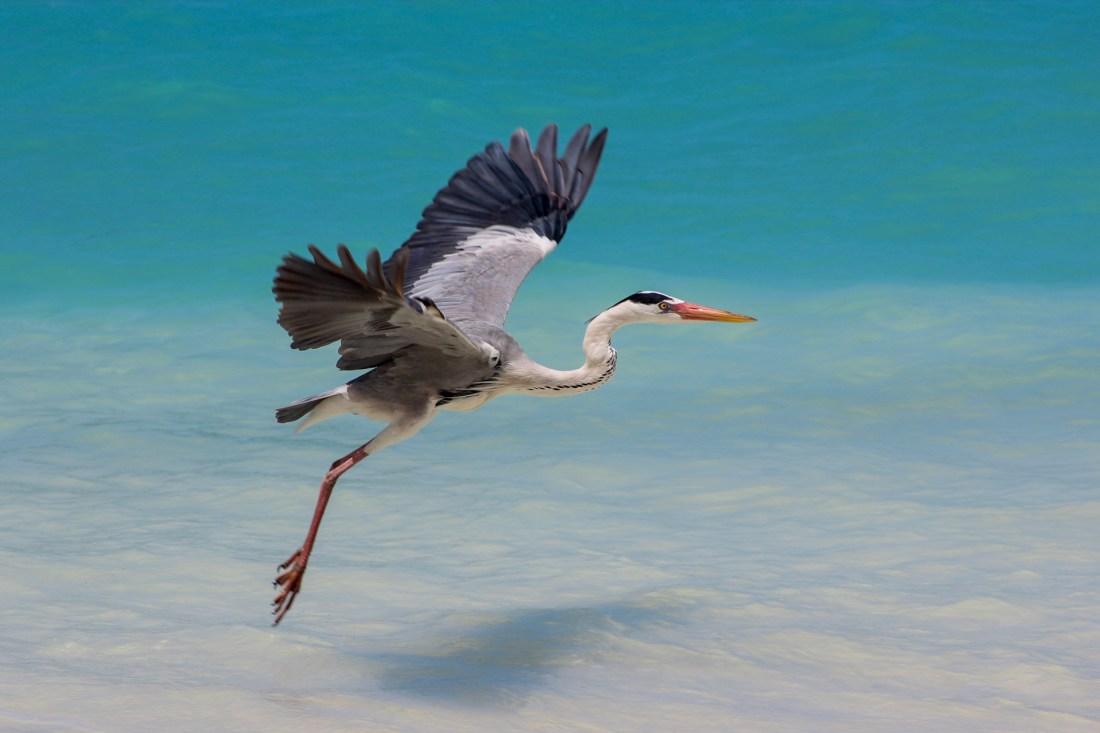 a grey heron taking flight by the beach