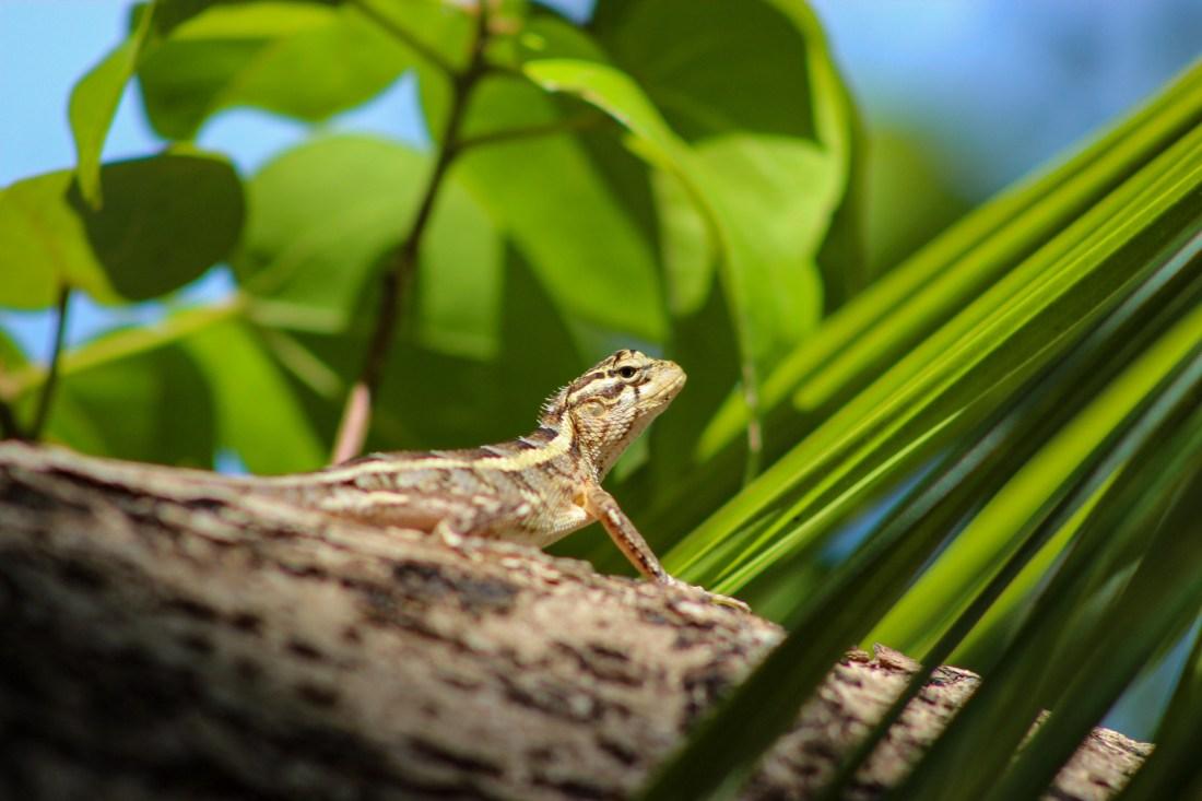 lizard in a tree maldives