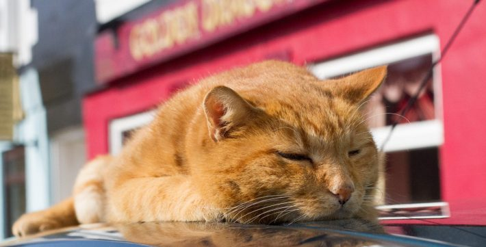 Image of the Tobermory Cat. A ginger cat sleep on top of a car.