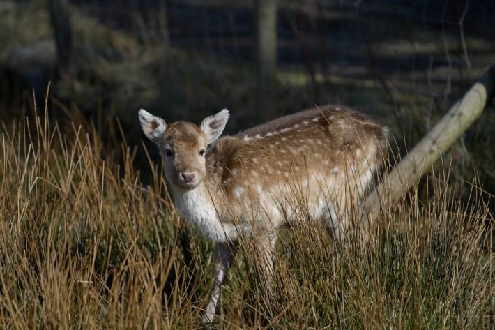 A roe deer in a field
