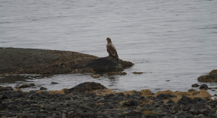 White tailed sea eagle perched on the side of a loch