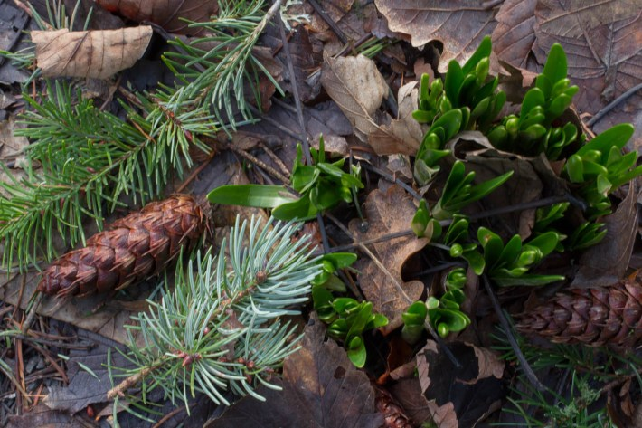 Leaf litter with new shoots coming up through the ground at Scone Palace