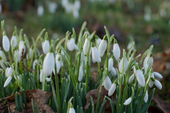 Scone Palace, Perthshire, Celebration of Snowdrops, Travel Guide to Scotland