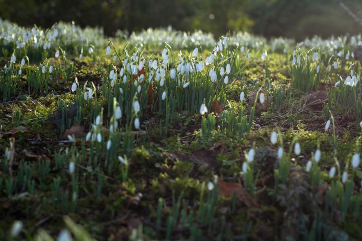 Celebration of Snowdrops, Scone Palace, Perthshire, Travel Guide to Scotland