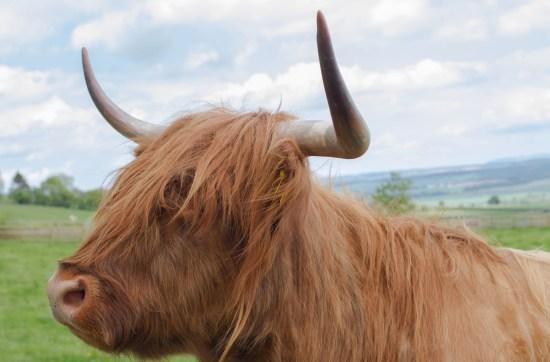 Highland Coo, Scotland Travel Blog