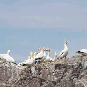 Scottish Seabird Centre, Bass Rock Boat Trip