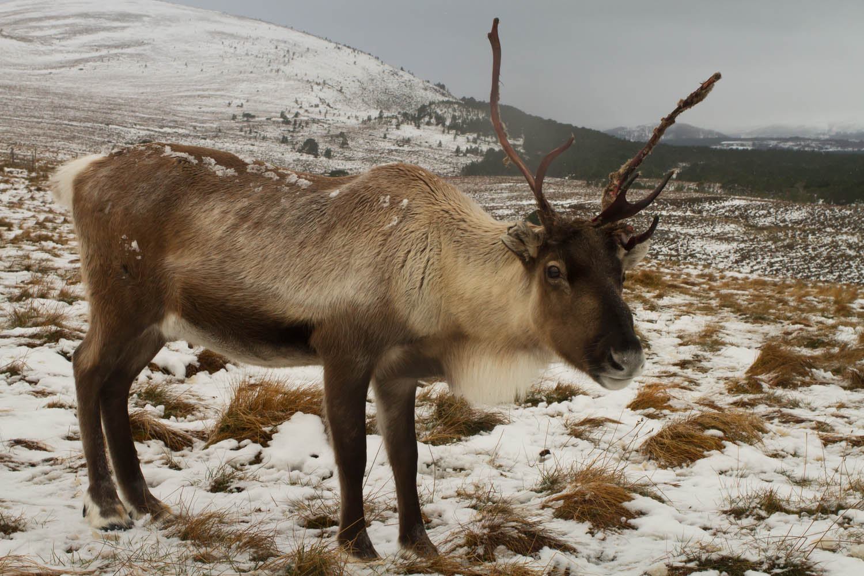Cairngorm Reindeer Centre