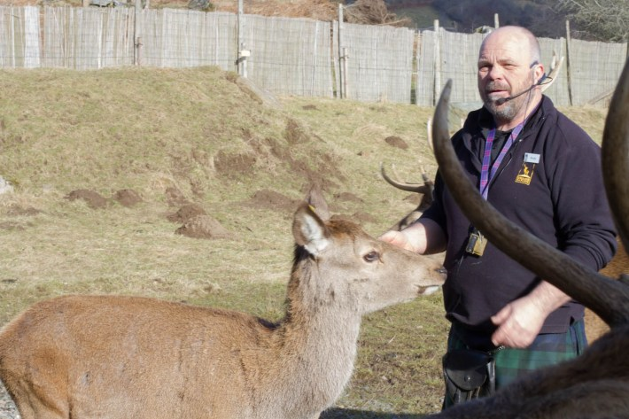 Highland Safaris, Perthshire. Guide with a red deer doe.