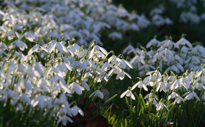 Cambo Garden Snowdrops