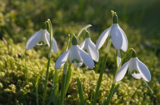 Snowdrops backlit on moss at Cambo Gardens, Fife