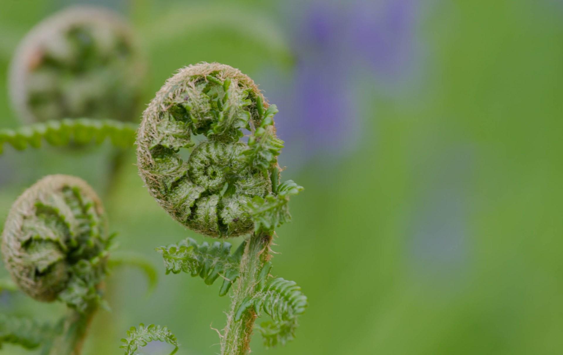 New green fern unfurling