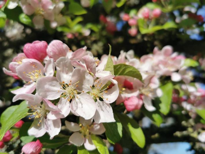 Crab apple blossom in Scotland - Little walks from home during lockdown