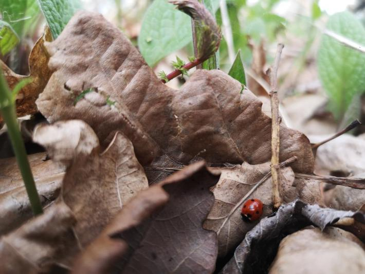 Ladybird in the leaf litter in Scotland - little walks from home during lockdown