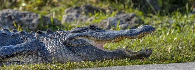 American-Allegator-(Alligator-mississippiensis)-Shark-Valley-Evergldes-National-Park-RKing-15-003575-vv