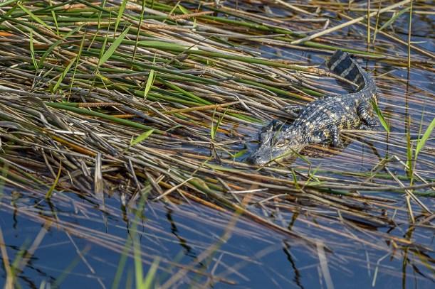 American-Crocodile-(Crocodylus-acutus)-Shark-Valley-Evergldes-National-Park-RKing-15-003574-vv