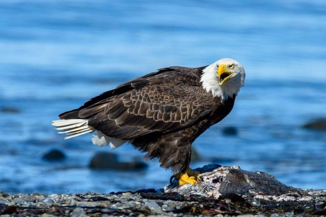 Photography Bald Eagle (Haliaeetus leucocephalus) having dinner at Anchor Point, AK