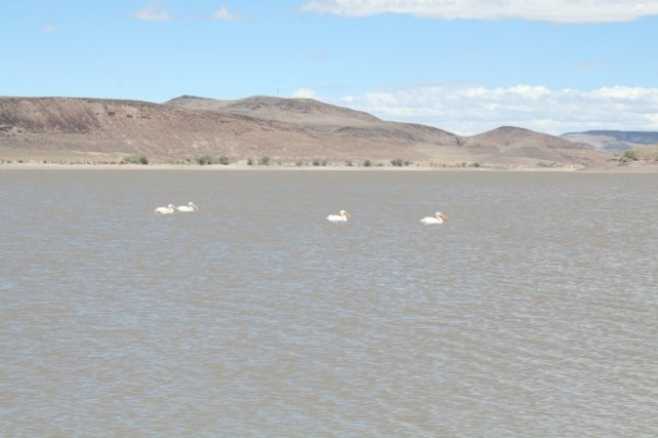 White Pelicans.  Sorry we didn't get a picture of them in flight, they have a beautiful black stripe on their wings.  Gorgeous birds.