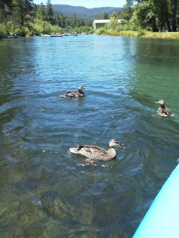 Traffic jam ahead, demanding ducks all around, great fun.