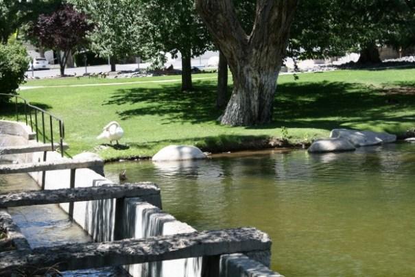 Swan preening.