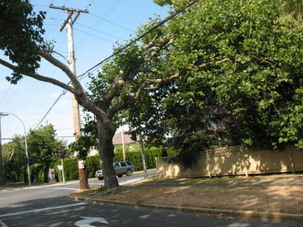 For about a mile the trees on Shellbourne Rd were trimmed to clear the way for the telephone cables.