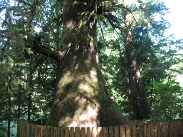 Harris Creek Spruce Tree.  I think largest or 2nd largest in the world.  It is ancient.