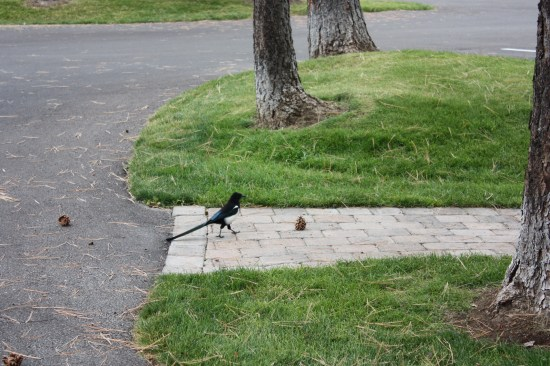 These birds are right up there with the ravens in my book.  I love them both,.