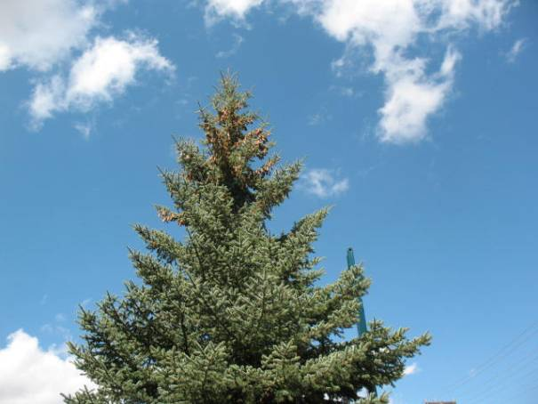 We think a blue spruce and they all have the cones on the very top fifth of the trees.  We will read about it when we get our next room with internet in it.