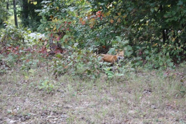 Red Fox spotted on our afternoon outing.