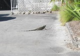 We did a uturn in a driveway and there was this 3+foot iguana just strolling along.  It was cool.