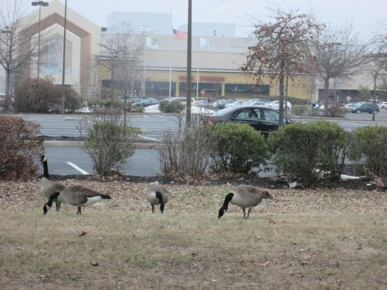 We enjoy seeing the geese everywhere we go.