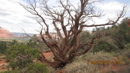 """One of the twisted """"vortex"""" trees."""