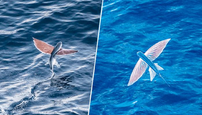 Αυτά τα ιπτάμενα ψάρια είναι ένα αληθινό θαύμα της φύσης – ΣΠΑΝΙΕΣ φωτογραφίες!