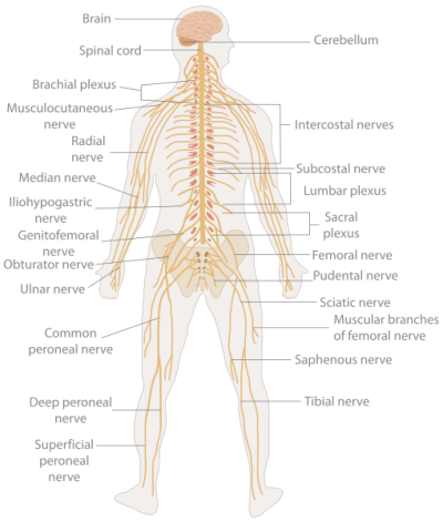 TE-Nervous_system_diagram_svg