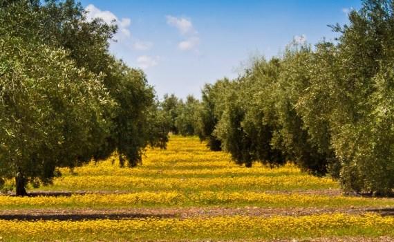 Agricultura mediterranea_olivar copia