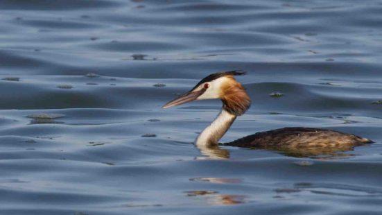 Somormujo: curiosidades de un pez con alas - Fundación Aquae