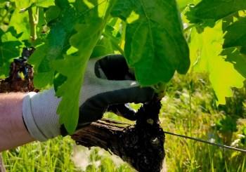 Los trabajadores de Fundación Asprem realizan labores de espergura en la viña riojana