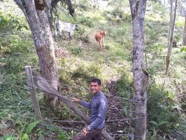 Al fondo, las vacas que intentaron escapar.