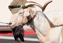 Marlaska y la cabra de la legión