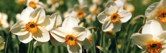 Daffodils (c) Sherry Fundin