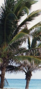 Mexico Palms (c) Sherry Fundin