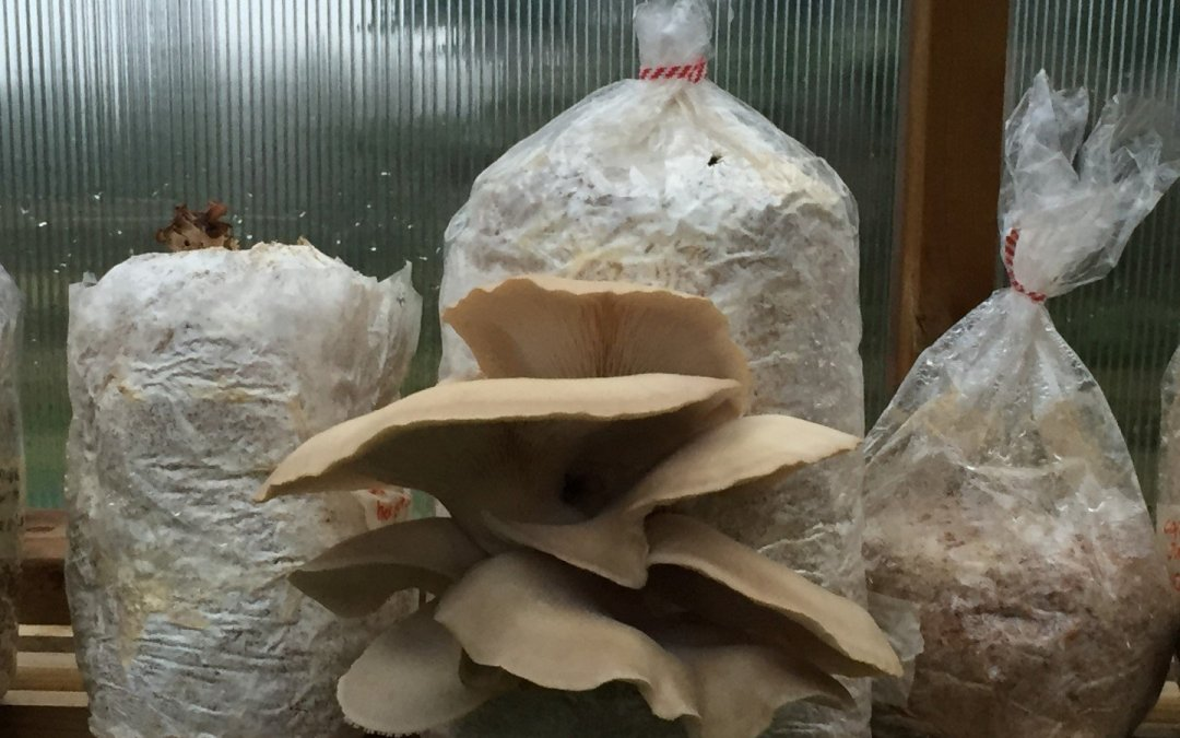 Phoenix Oyster Mushrooms!
